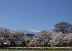 from 山梨 - 17 - 山梨花便り~北杜市~山高神代桜(やまたかじんだいざくら)。