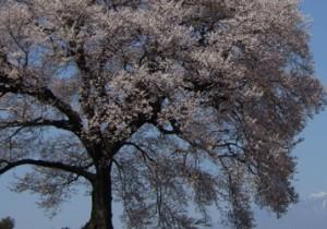 from 山梨 - 16 - 山梨花便り~韮崎市~わに塚(王仁塚・鰐塚)の桜。