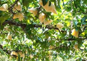 from 鳥取 - 76 - さっぱりとした爽やかさ。梨と生姜のサイダー。