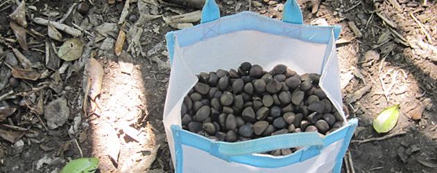 椿の楽園大島便り - 3 - 今年も椿の実の収穫期がやってきました!