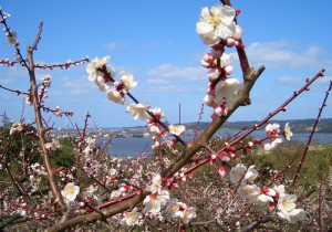 from 鳥取 - 87 - 春一便!野花梅渓散策ツアー。