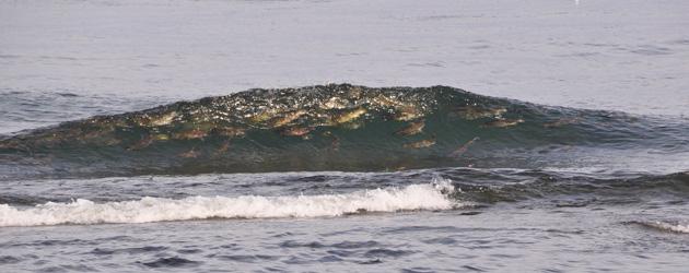 故郷の川を目指して帰ってきたサケが、沿岸の波間で踊る