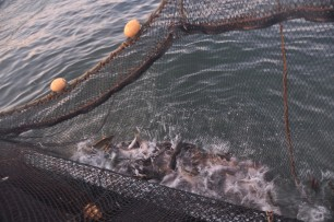 定置網漁にかかったサケを船に引き寄せる