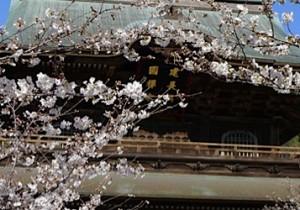 春の花を探しに、 鎌倉建長寺から回春院あたりへ。