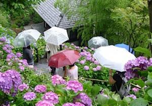 雨の鎌倉、長谷寺まで紫陽花を見に。