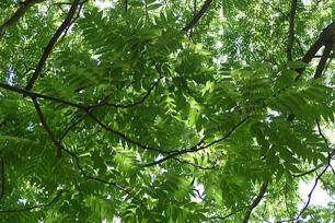 カラスザンショウにはカラスアゲハやクロアゲハが集まる