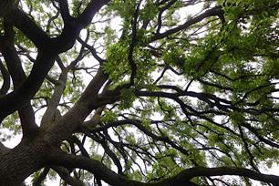 空高く枝を広げたクヌギの大木は世田谷美術館の宝