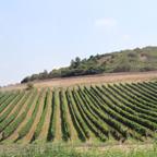 恐らく近年開墾・整備されたであろうワイン用葡萄畑。