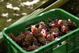 収穫されたブドウは街中にあるワイナリーへ
