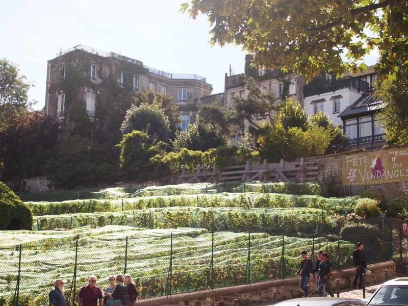 パリ、モンマルトルの丘の小さな葡萄畑もそろそろ収穫の時期です。