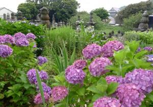 田中晃二の道草湘南《犬の鼻、猫の舌》逗子小坪から鎌倉材木座あたり梅雨の晴れ間、夏の花を見つけに。