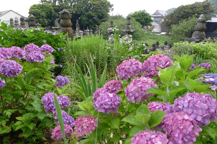 内藤家の墓所は夏草の中、奥に光明寺の山門が見える。