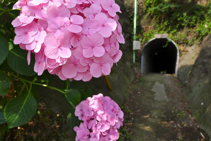 住吉隧道の赤い紫陽花。このあたり鎌倉時代の古戦場だ。