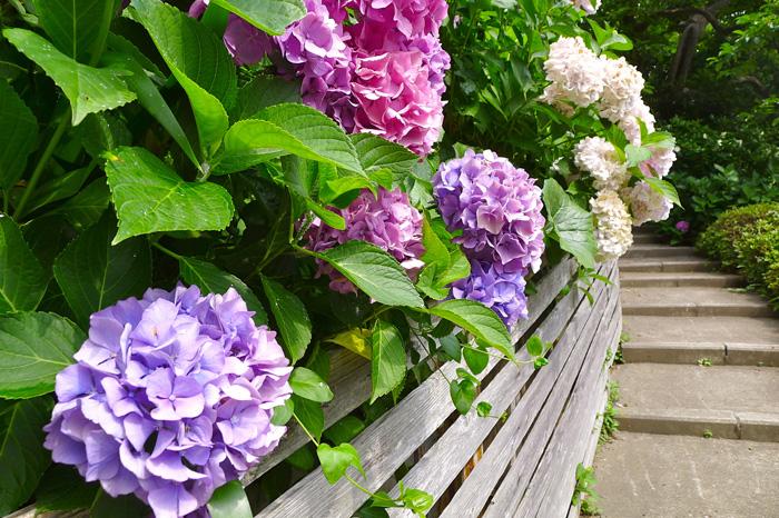 庭の紫陽花を見ながら坂道を登る