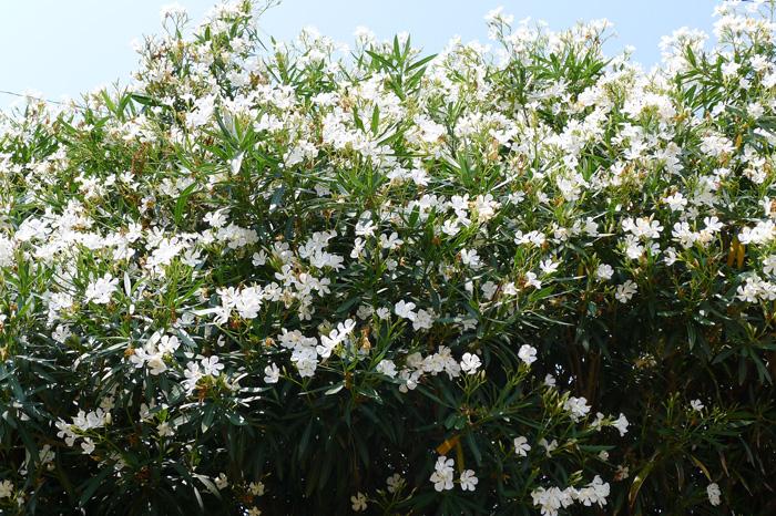 白い花でも夾竹桃、桃より白が好きだ。