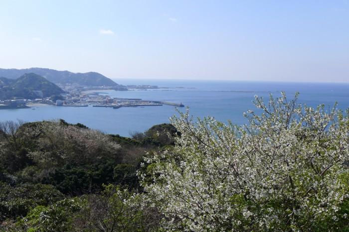 南側斜面にはヤマザクラが満開、葉山マリーナから森戸海岸方面