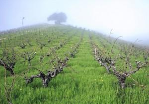 カリフォルニアのジンファンデル―1―カリフォルニア・ワインの誇り、ジンファンデル