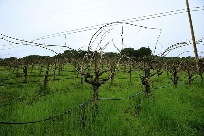 ワイナリー近くのジンファンデルの畑。これから剪定をまっている