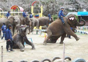 深瀬鋭一郎のあーとdeロハス 日本ベビーは、BABY METALやLADYBABYだけじゃないよ『市原ぞうの国』にてアジア象の 「ゆめ花画伯」が大活躍です!